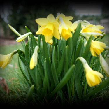 Jetzt kommt der Narzissen-Schmuck!  Am 21. März  macht er auf Gelb!