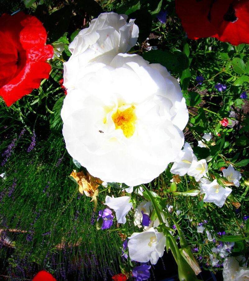 Eine weiße Rose kann gebogen auf dem Kopf stehen!