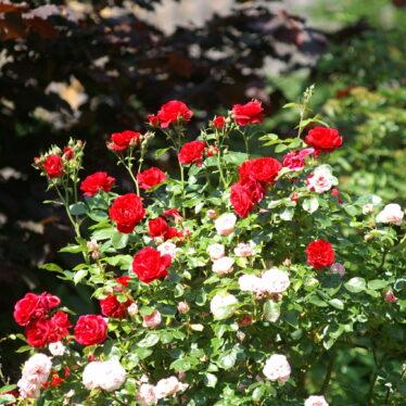 Wer will schon auf Rosen gebettet sein?